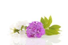 白色和紫色Phloxen 库存照片