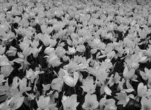 白色和黑郁金香开花的领域 免版税图库摄影
