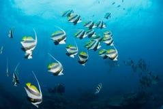 白色和黑镶边鱼学校  免版税库存图片
