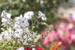 白色喇叭花在明亮的五颜六色的背景中 库存图片