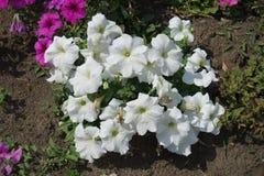 白色喇叭花的布什在8月 库存照片