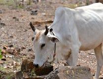 白色国内母牛吃 免版税库存照片