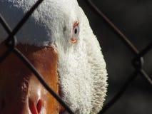 白色国内鹅面孔 库存照片