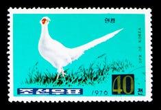 白色圆环收缩的野鸡雉属colchicus,野鸡serie,大约1976年 免版税库存照片