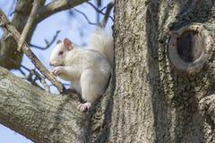 白色在大树肢体的灰鼠Chomping坚果  免版税库存照片