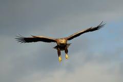 白色在天空的被盯梢的老鹰飞行 库存图片