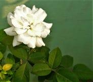白色在我的水管庭院里上升了花beautifil图象 库存照片