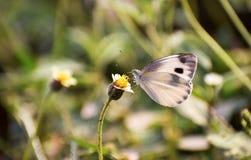 白色在花的色的蝴蝶 图库摄影