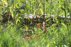 白色在草的被盯梢的鹿小鹿 免版税库存图片
