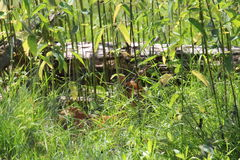 白色在草的被盯梢的鹿小鹿 图库摄影