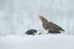 白色在落的雪的被盯梢的老鹰 免版税库存图片