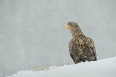 白色在落的雪的被盯梢的老鹰 免版税库存照片
