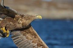 白色在飞行中被盯梢的老鹰的关闭 免版税库存图片