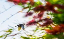 白色在飞行中颜色印地安杉状尾鸽子 库存图片