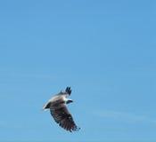 白色在飞行中鼓起的海鹰 库存图片