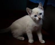 白色在黑背景的被隔绝的小猫 库存照片