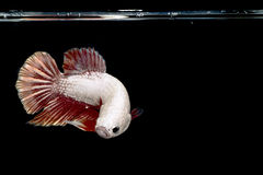 白色在黑背景的Betta鱼暹罗战斗的鱼 免版税库存照片