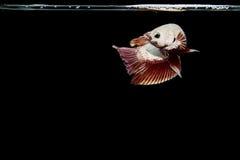 白色在黑背景的Betta鱼暹罗战斗的鱼 免版税库存图片