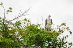 白色在Corroboree Billabong, NT,澳大利亚鼓起了海鹰 库存照片