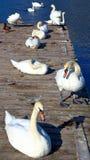 白色坦率的天鹅 免版税库存照片