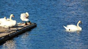 白色坦率的天鹅 免版税库存图片