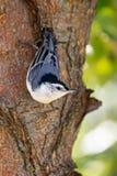 白色垂悬在树的breasted五子雀 免版税库存图片