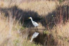 白色埃及白鹭有在水 库存图片