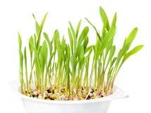 白色塑料盘子的年轻玉米花植物在白色 免版税库存照片