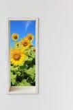 白色墙壁窗口用在蓝天视图的向日葵 库存照片
