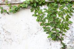 白色墙壁背景的绿色爬行物厂 库存照片