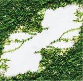 白色墙壁绿色常春藤植物 免版税图库摄影