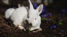 白色复活节兔子在早期的春天早晨 股票录像