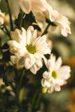 白色夏天开花玛格丽塔 浪漫花 库存照片