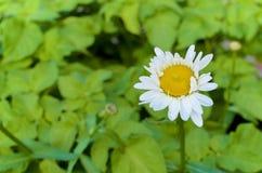 白色夏天花有绿色背景 免版税库存照片