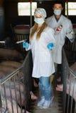 白色外套的两位兽医在猪圈 库存照片