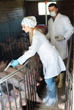 白色外套的两位愉快的兽医在猪圈 库存照片