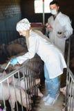白色外套的两位高兴的兽医在猪圈 库存图片