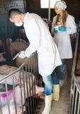 白色外套的成人兽医在猪圈 免版税库存图片