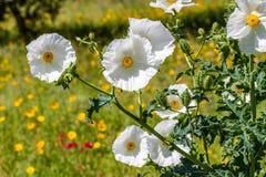 白色多刺的鸦片野花开花的特写镜头在得克萨斯 免版税库存照片
