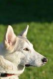白色多壳的狗头 免版税库存图片