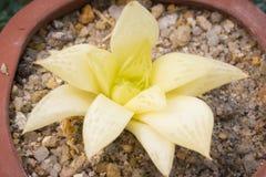 白色多汁植物 库存图片