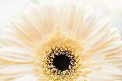 白色大丁草的宏观图象 库存照片