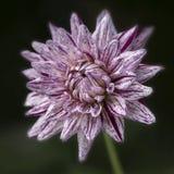 白色大丽花花特写镜头与紫色条纹的 图库摄影