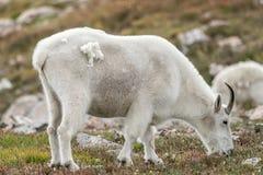 白色大垫铁绵羊-落矶山脉山羊 免版税库存照片