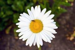 白色大春黄菊花在庭院里 特写镜头 库存照片