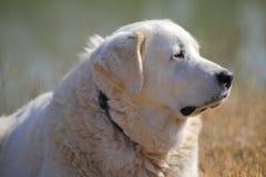 白色大比利牛斯狗 免版税库存照片