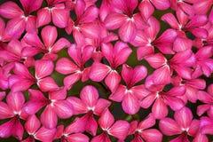 白色大竺葵小的花红色和 u r 免版税库存照片