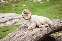 白色大角野绵羊关闭贾斯珀国家公园 免版税库存图片