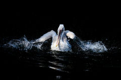 白色大鹈鹕 免版税库存图片