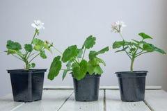 白色天竺葵花,大竺葵,叫作storksbills,家庭植物 免版税库存图片